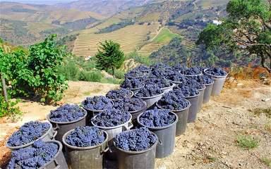 Виноград  Доуру
