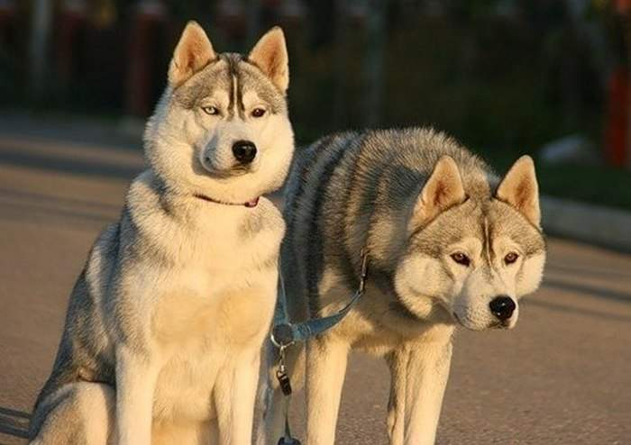 Хаски – классические ездовые собаки