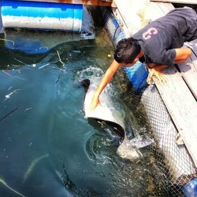 Кормление ската на рыбной ферме