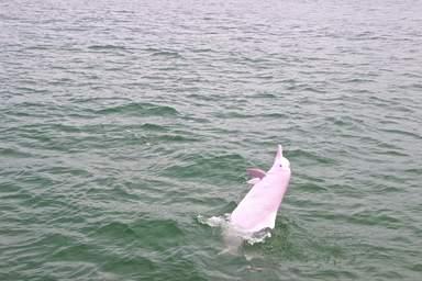 Резвящийся розовый дельфин
