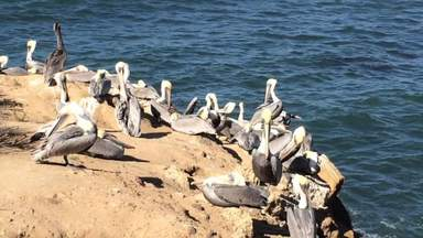 Пеликаны на морском берегу