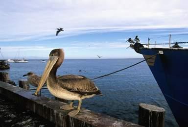 Баклан на набережной в Монтерее