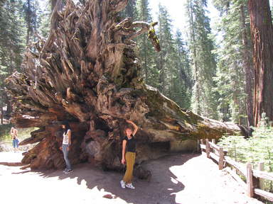 Корни гигантской секвойи