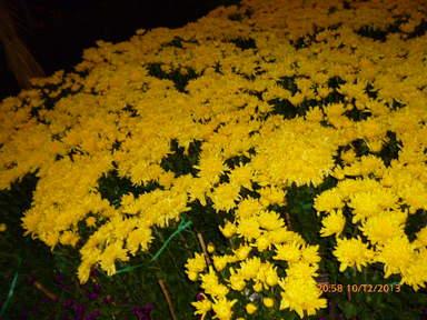 Поляна жёлтых цветов в ботаническом саду