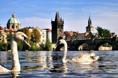 Лебеди в реке Влтава