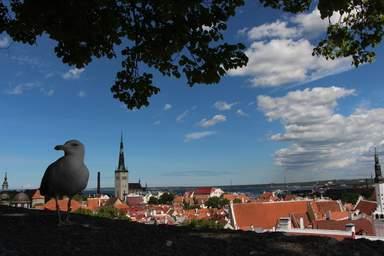Чайка на фоне панорамы Таллина
