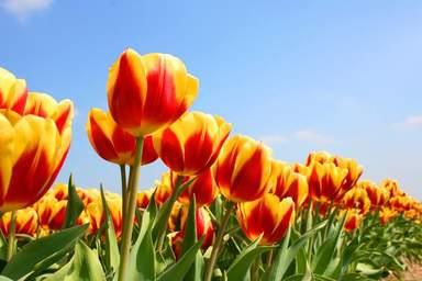 Мир тюльпанов в парке Кёкенхоф
