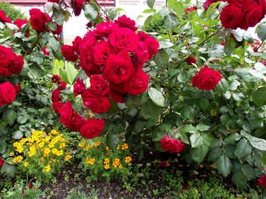 Карловарские розы