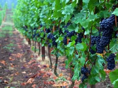 Виноград в долине Санта-Инес
