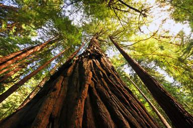 Деревья в парке Муир Вудс