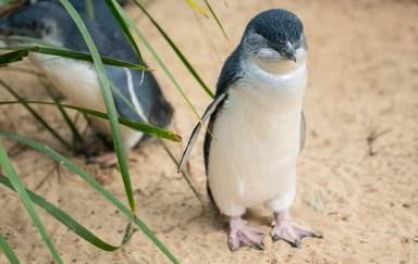 Пингвин на пляже Саммерленд