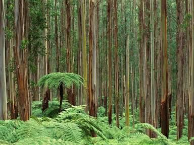 Дождевой эвкалиптовый лес