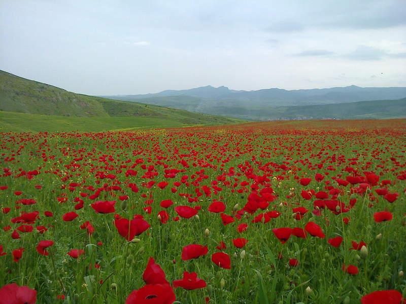 Маковое поле около города Иджеван