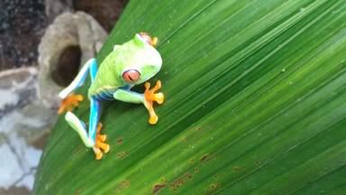 красноглазая древовидная лягушка