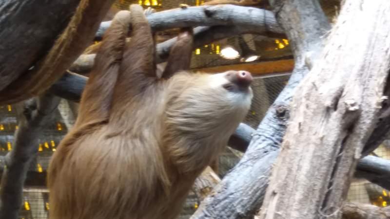 двухпалый линивец