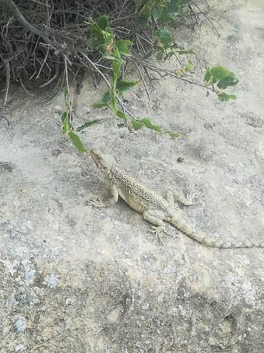 Один из редких видов фауны заповедника Гобустан