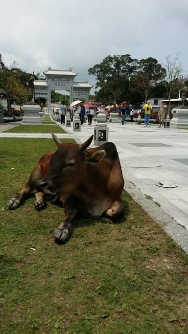Дикие коровы