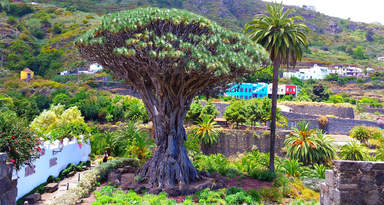 Драго-дерево