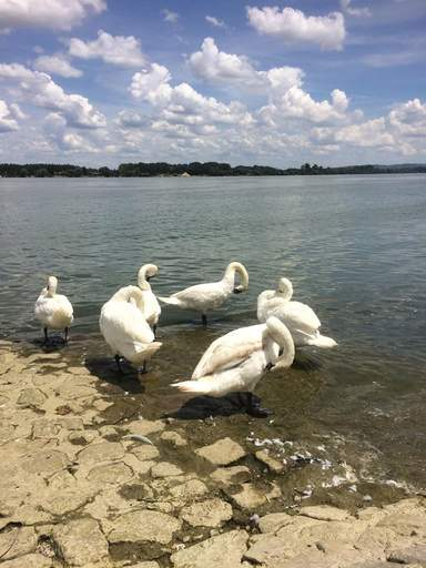 Лебеди на Земунской набережной