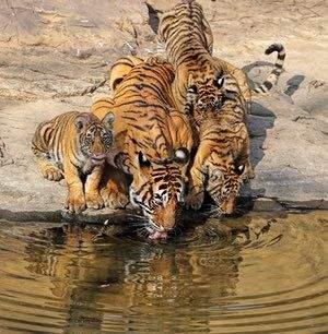 тигры у водопоя