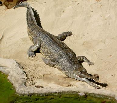 крокодил в заповеднике Гавиал
