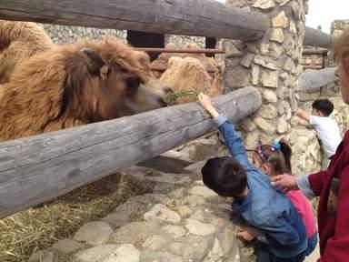Загон с верблюдами (разрешается их кормить)