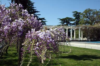Глициния цветёт в Никитском ботаническом саду