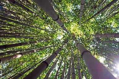 В бамбуковой роще Никитского ботанического сада