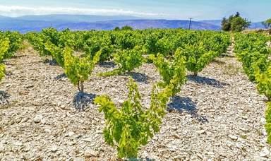 Виноградник в горах