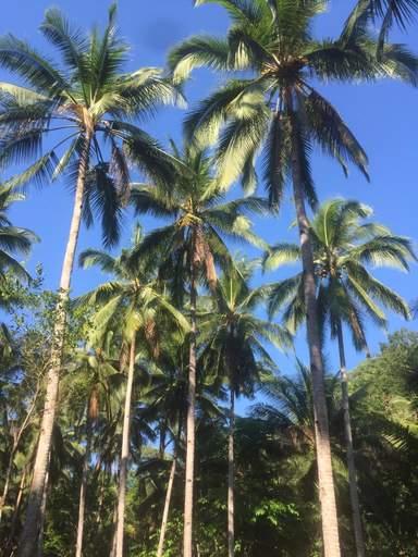 Пальмовая роща на Боракае