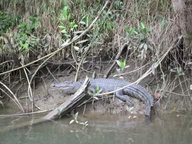 Салти или Гребнистый крокодил