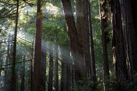 Гигантские Секвойи (Muir woods)