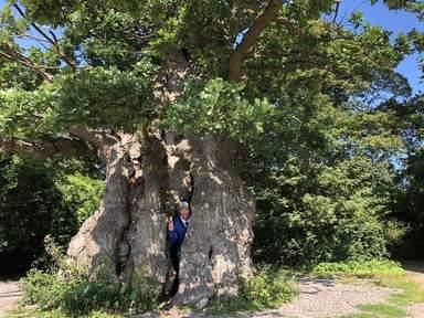 Самый старый дуб в Дании