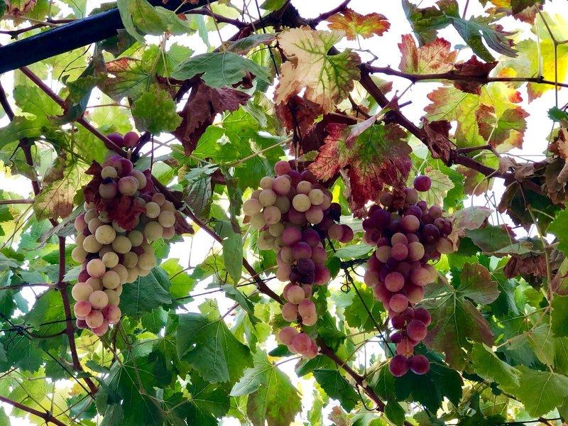 Виноград, сорт Верико