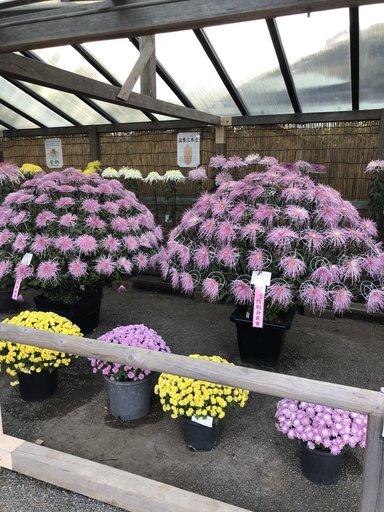 Выставка хризантем в саду Санкейэн