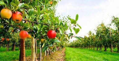 яблоневые сады Губы