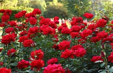 Розовые сады в Загатала