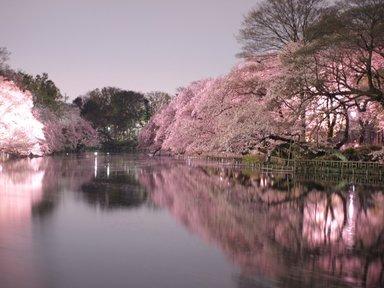 Сакура парка Инокащира