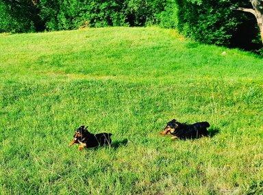 Поисковые собаки на охоте на трюфеля