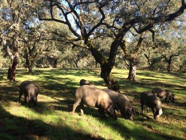 иберийские свиньи