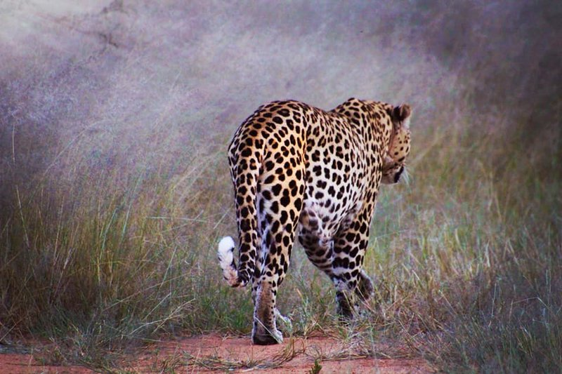 Leopard at masai mara