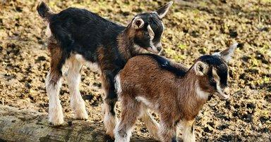 На ферме хозяин Брюно познакомит нас с козочками