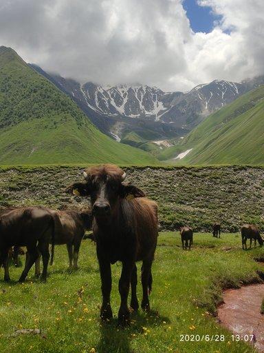 Стиляжные буйволы в ущеле Труссо