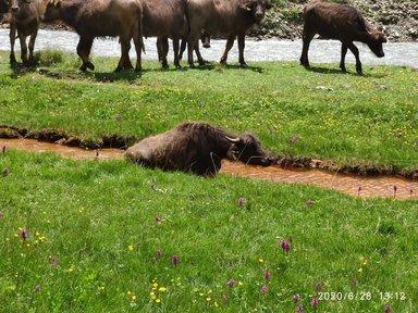Ванна  с минеральной водой для буйвола