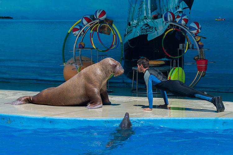 Мужчина и морж отжимаются в Анапском дельфинарии, Краснодарский край, Россия