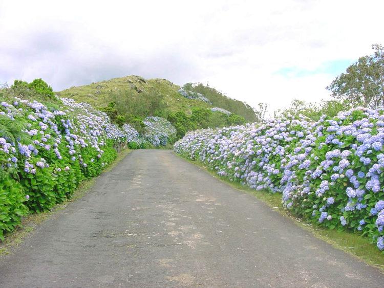 Типичная дорога с гортензиями на о. Терсейра на Азорских островах