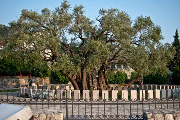 2000-летняя олива европейская, город Бар, Черногория