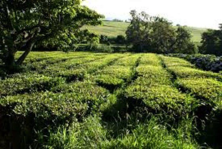 Чайная плантация на Азорских островах в Португалии