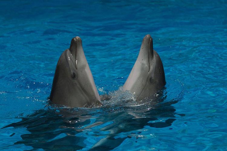 """Два """"танцующих"""" дельфина в Анапском дельфинарии Краснодарского края в России"""