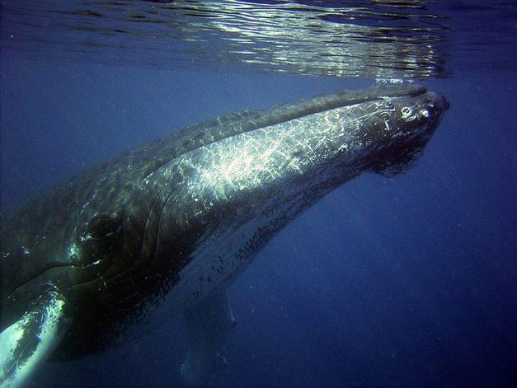 Whale watching на Азорских островах
